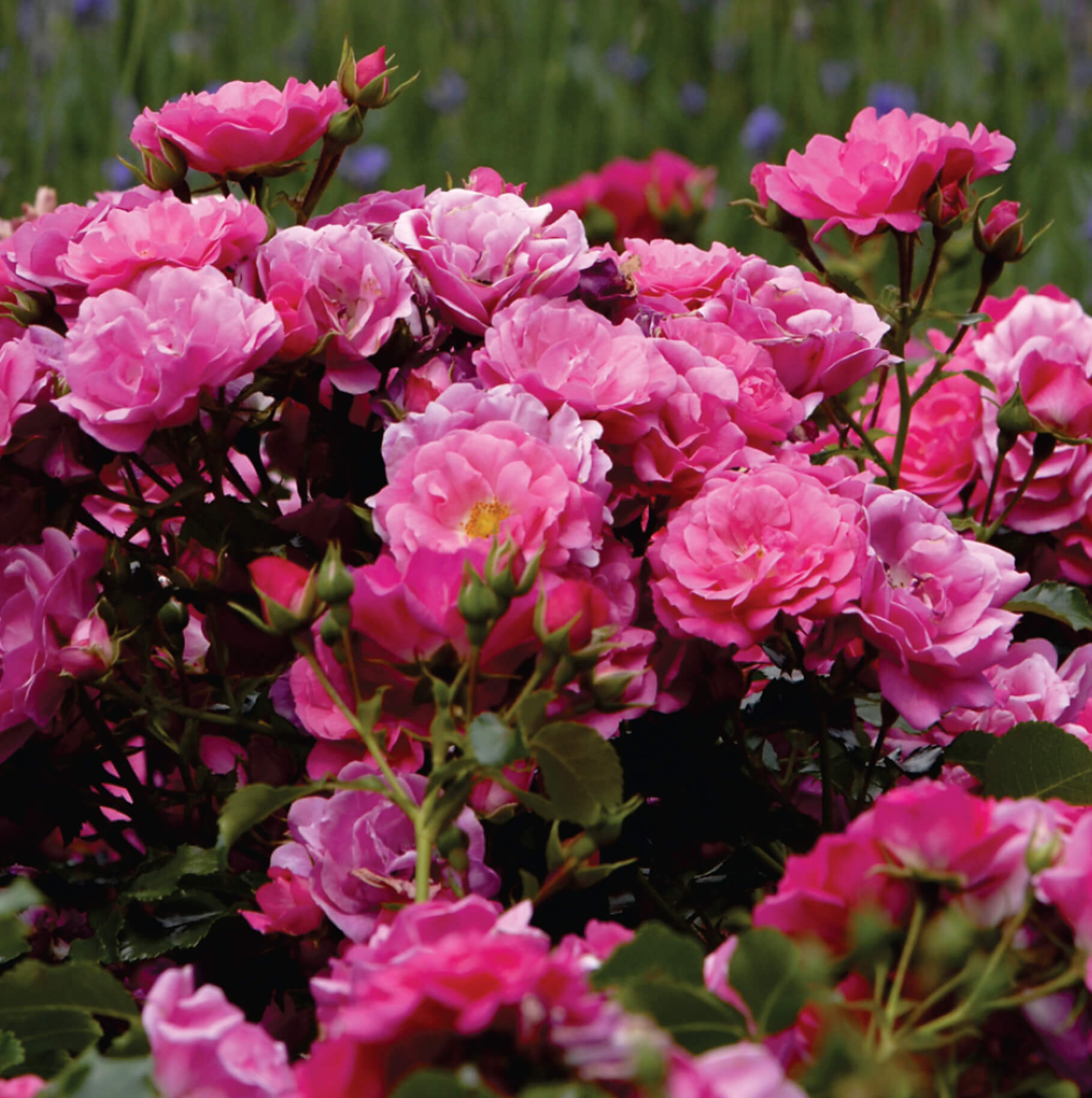 Keith kirsten horticulture international rosa flower carpet pink supreme mightylinksfo